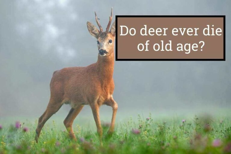 Do Deer Ever Die in old ages